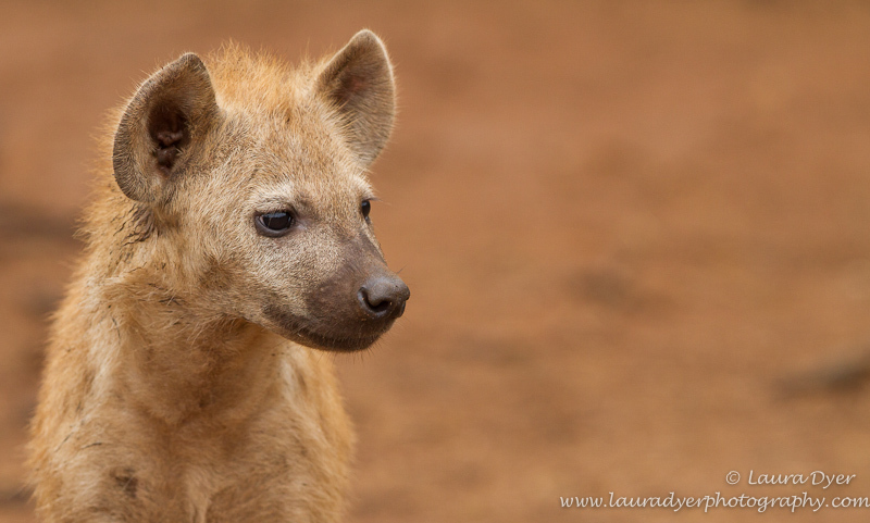 Innocent hyena portrait - Hyena