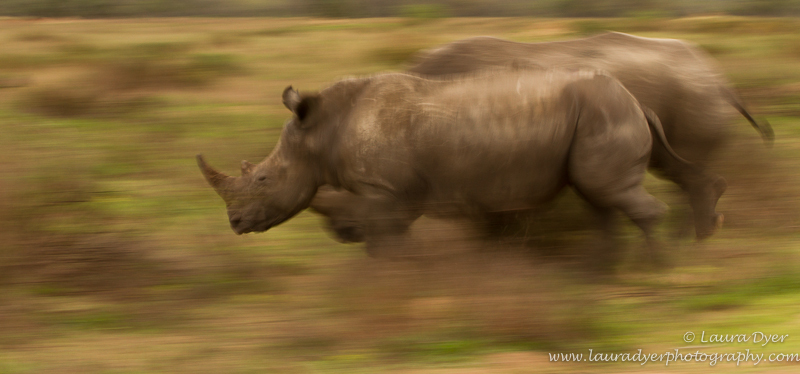 Racing Rhino - African Mammals