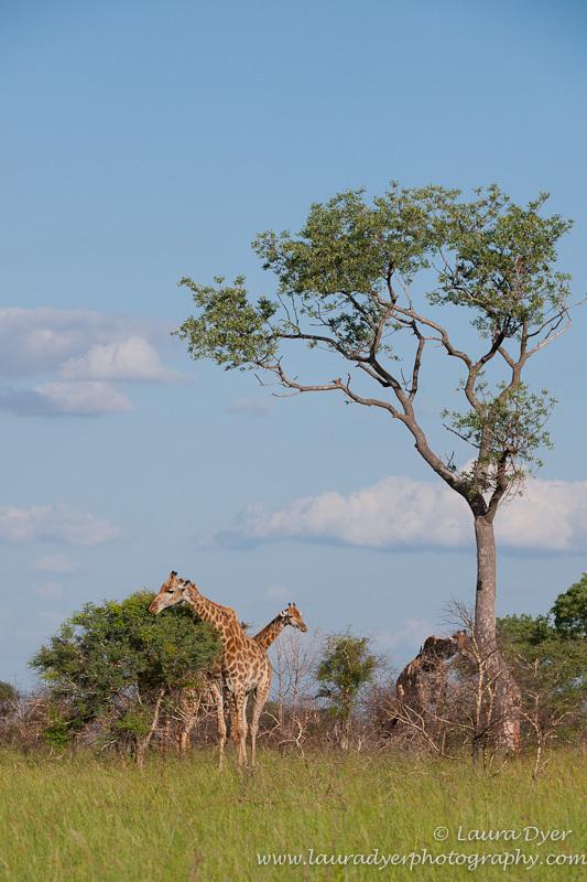 Giraffe feeding under a tree