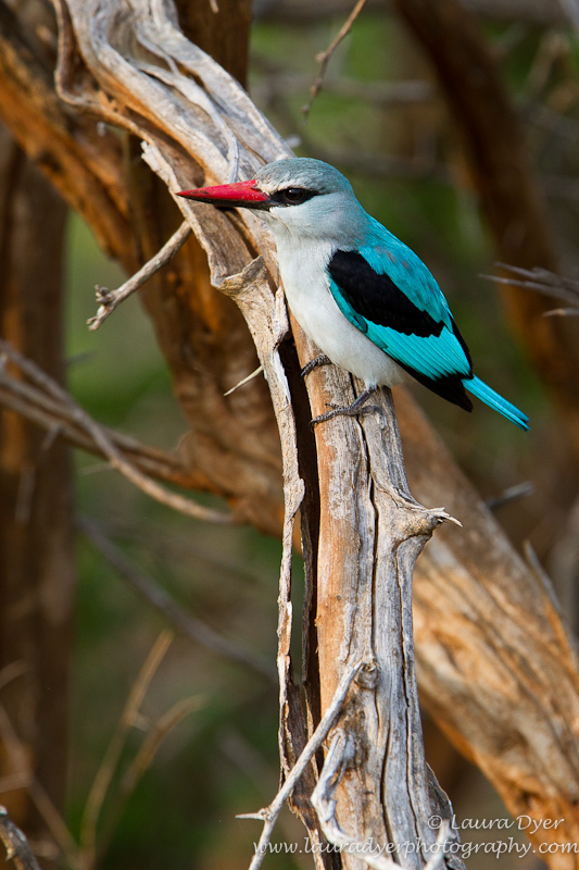 Early morning hunting woodlands kingfisher - Birds of Africa