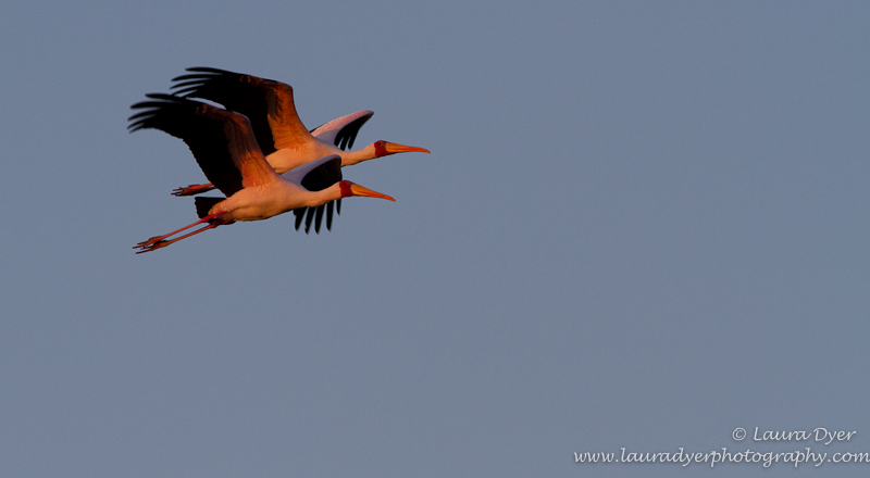 Yellow-Billed Storks at sunset