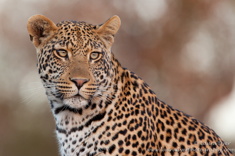 Young male leopard at sunset - Leopards
