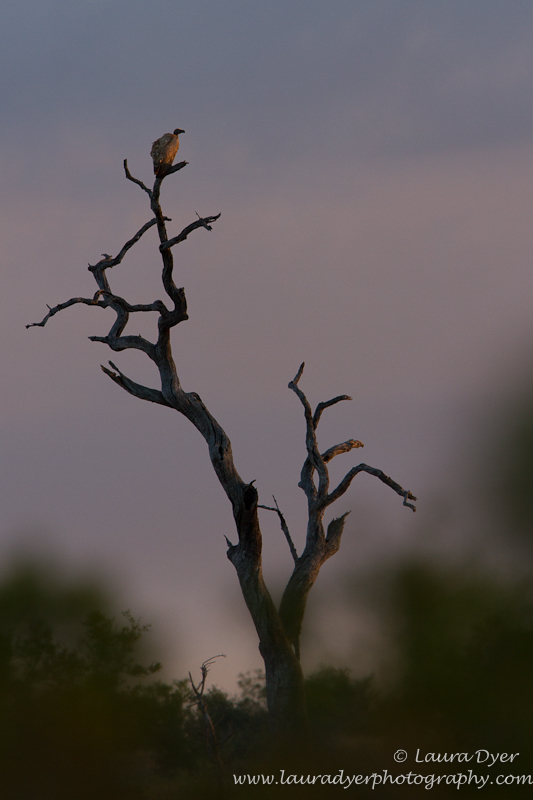 Vulture at sunrise