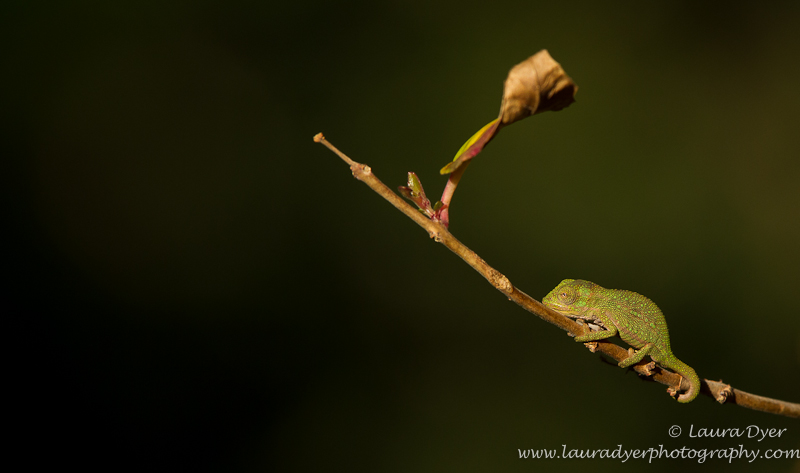 Baby chameleon on twig - Other Nature