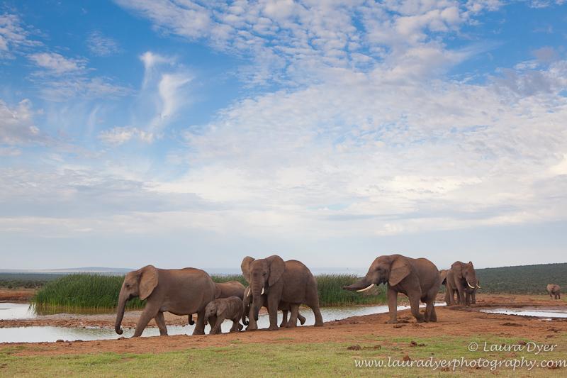 Elephant herd at waterhole - African Mammals