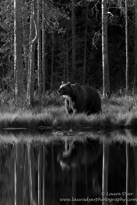 Brown bear reflection in monotone - Monotone