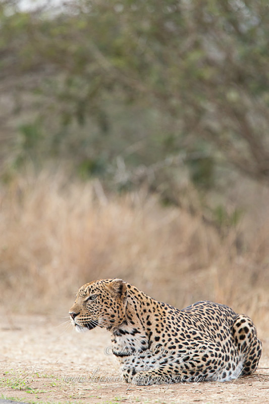 Hunting leopard in Kruger - Leopards