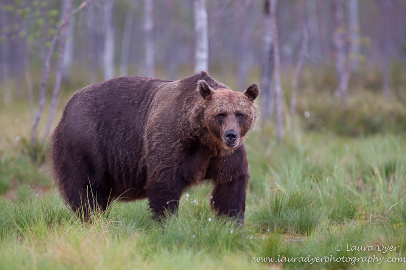 European Brown Bear in Taiga Forest