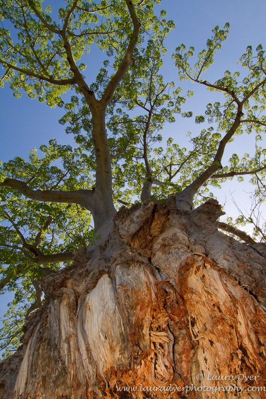 Baobab Tree in Okavango Delta