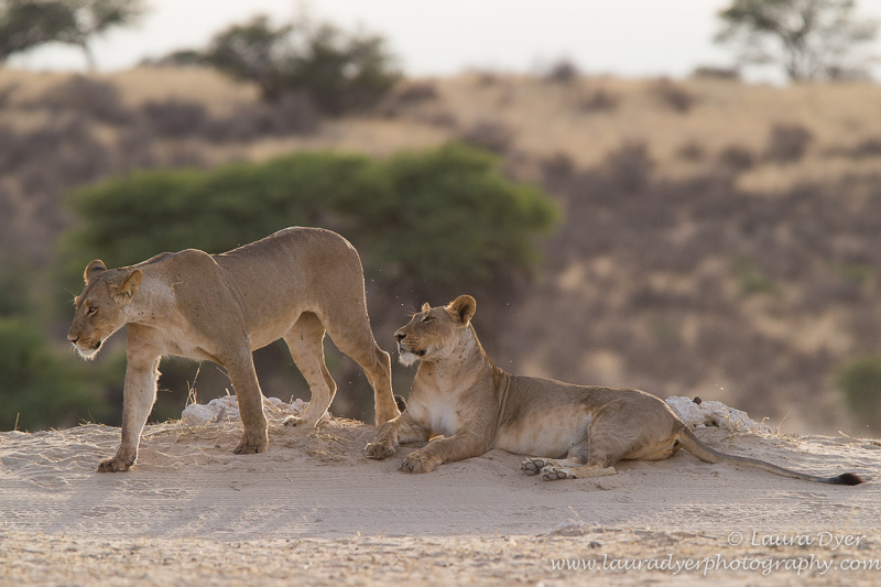 Sisters at dawn - Lions