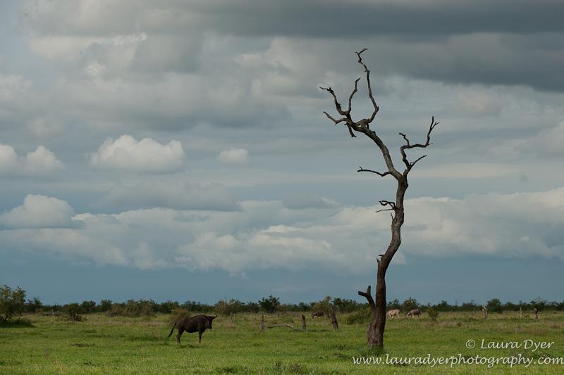 Wildbeest and storm - African Mammals