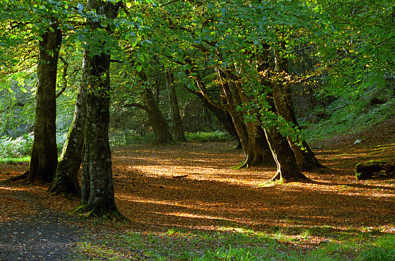 Ness Woods Autumn (P48) - County Derry