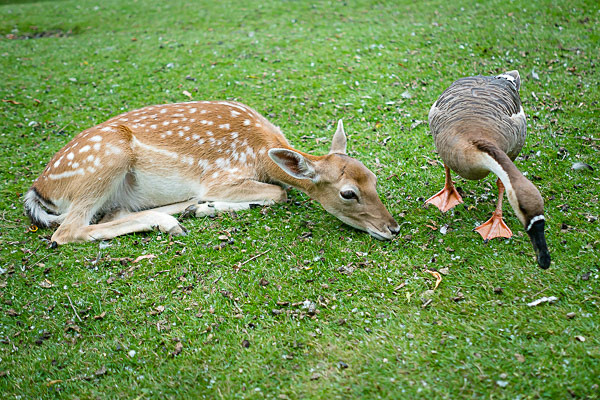 Deer and Duck at the Bird and Deer Park - The Cotswolds