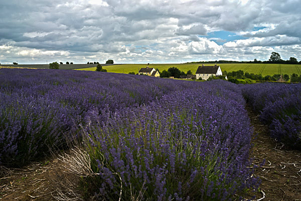 Cotswold Lavender - The Cotswolds
