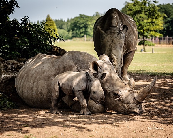 Baby Rhino - The Cotswolds