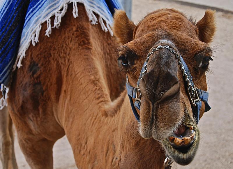 Camel - Diverse