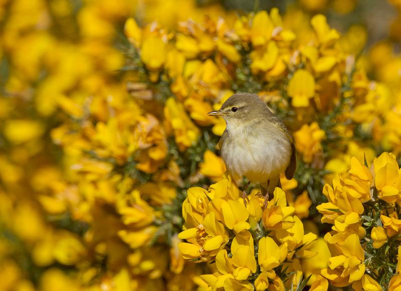 Willow Warbler - Phylloscopus trochilus - Ardnamurchan
