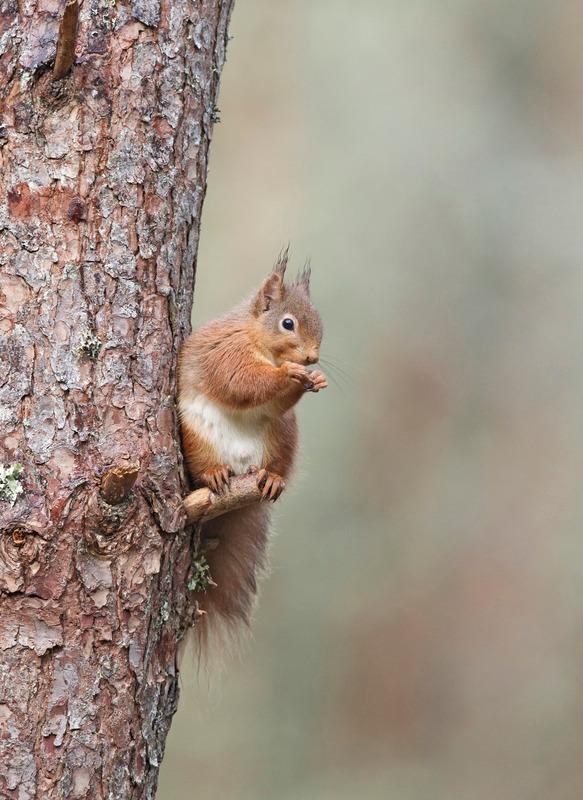 Red Squirrel  - Sciurus vulgaris - Cairngorms