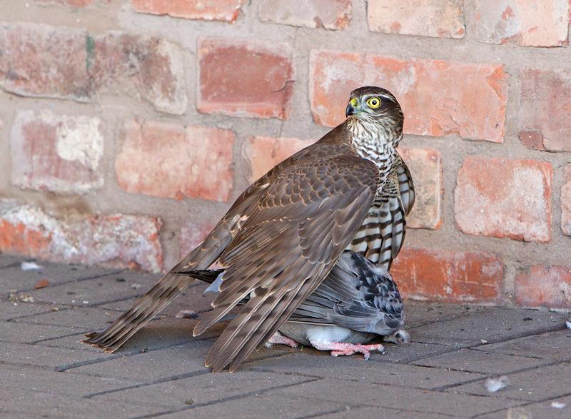 Sparrow Hawk - Wildlife Photography