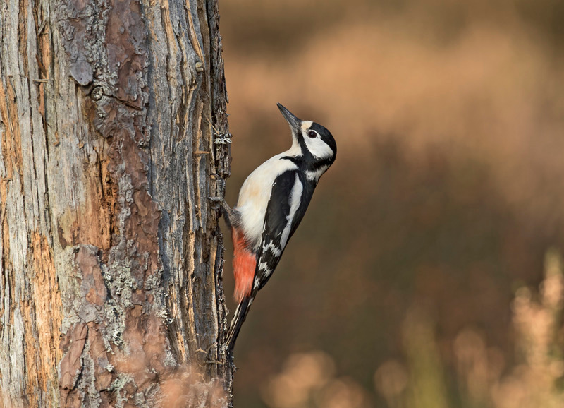 Greater Spotted Woodpecker - Dendrocopos major - Cairngorms