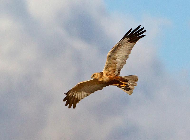 Marsh Harrier - Circus aeruginosus - Birds of prey