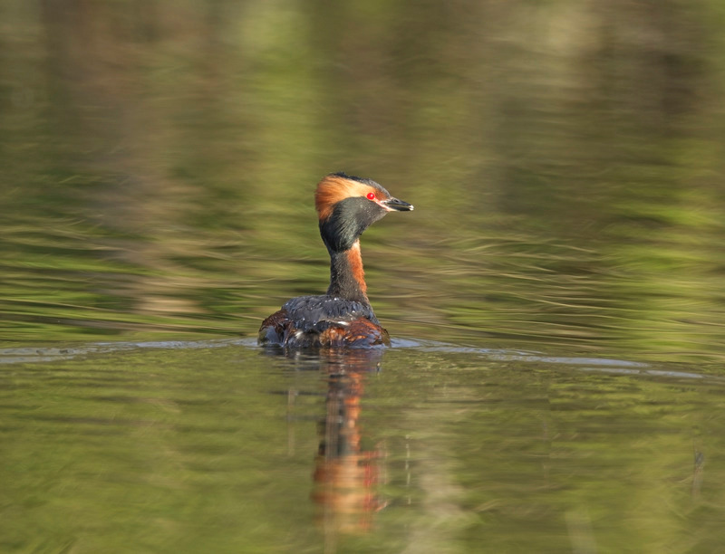 Slavonian Grebe -  Podiceps auritus - Cairngorms