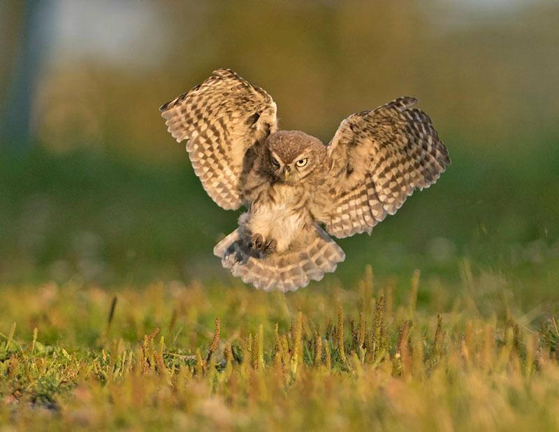 Little Owl - Athene noctua - Birds of prey