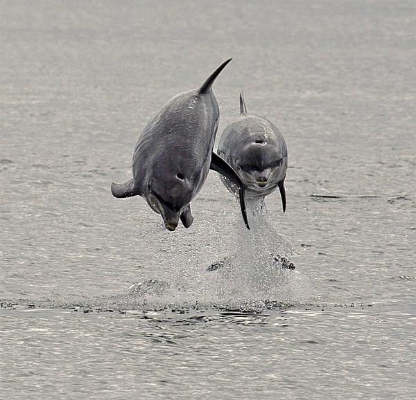 Bottlenose Dolphins   Moray Firth   Graham Manson Photography