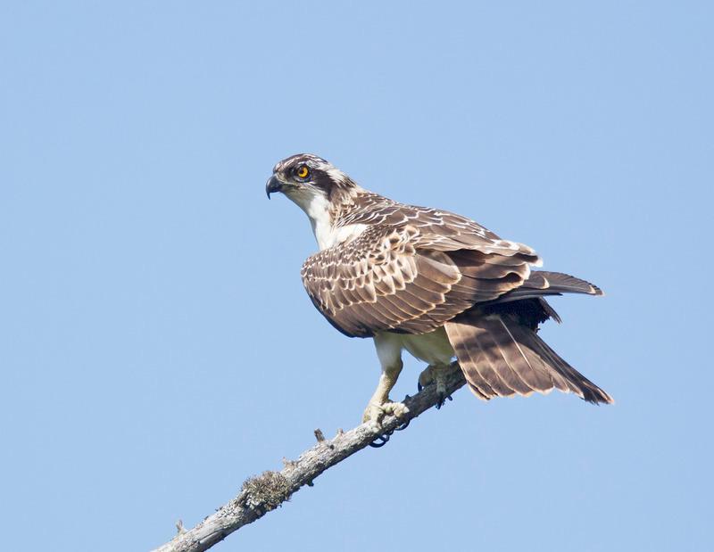 Osprey - Pandion haliaetus - Cairngorms