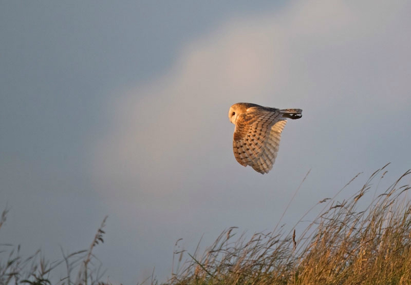 Barn Owl - Tyto alba - Birds of prey