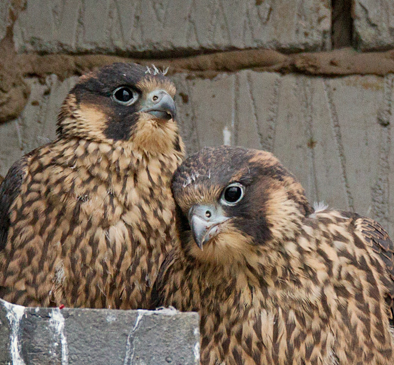Urban Wildlife | Peregrine Falcon