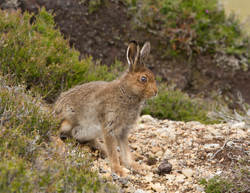 Mountain Hare Leveret - Lepus timidus - Cairngorms