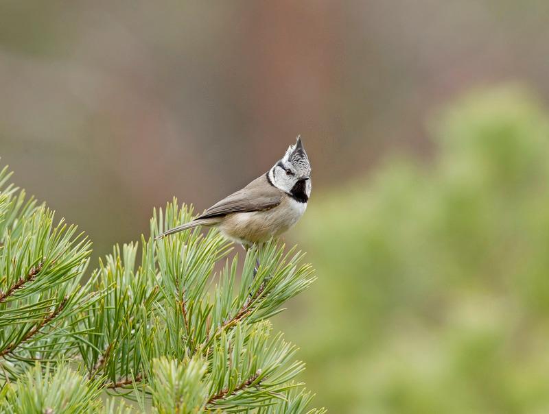 Crested Tit - Lophophanes cristatus - Cairngorms