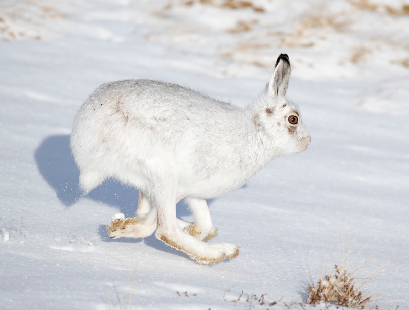 Mountain Hare - Lepus timidus - Cairngorms