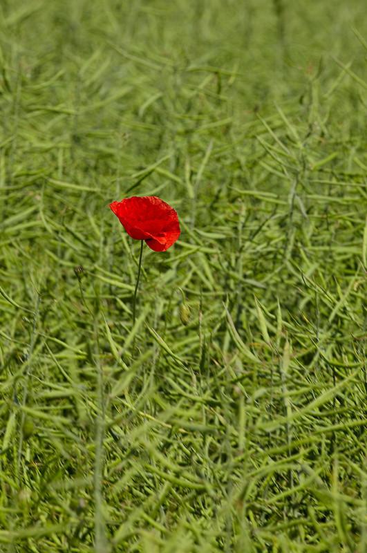 Poppy in Oil Seed Rape, Dorchester, Dorset - Dorset Landscapes