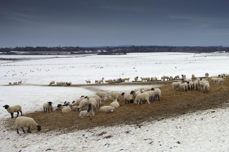 Sheep in Winter, Maiden Castle, Dorchester, Dorset - Dorset Landscapes