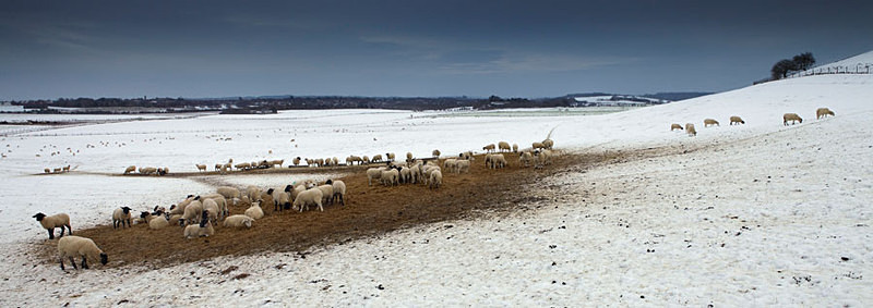 Sheep in Winter - Panoramas