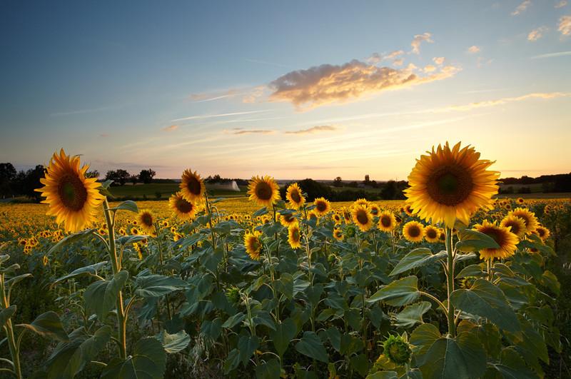 Sunflower Sunset, Dordogne, France - European Scenes