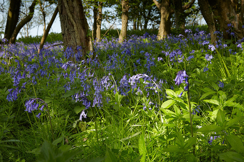 Bluebell Woods in Dorset - April 2011 - Dorset Landscapes