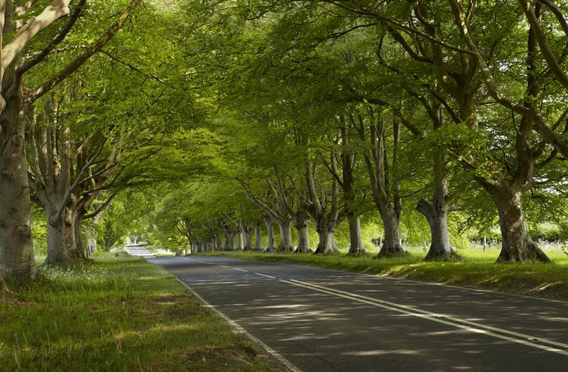 Beech Tree Avenue, Kingston Lacey, Dorset - Dorset Landscapes