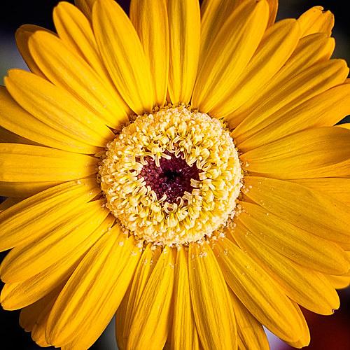 Yellow chrysanthemum | wall art | photograph by Colin Robb