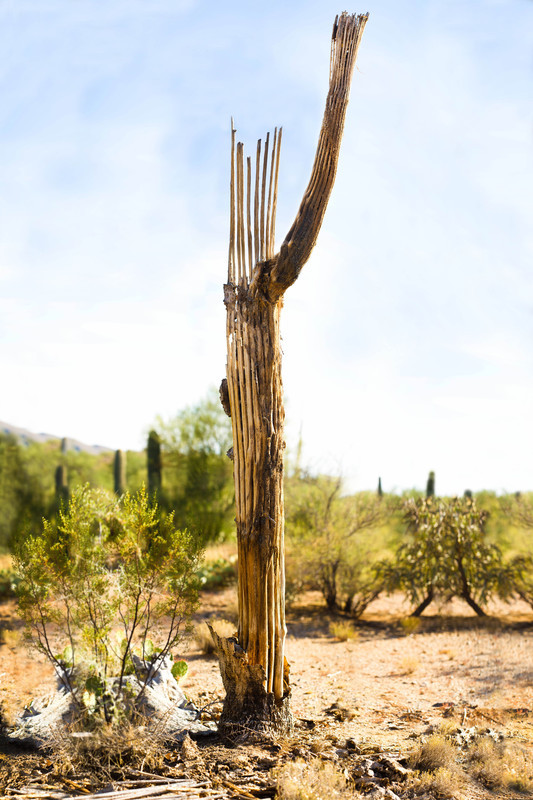 Skeleton Cactus - For Sale Scenery Photography