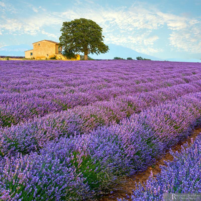 Lavender Hue's. - Provence.