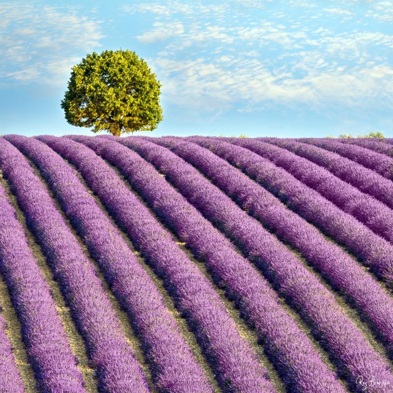 The Lavender Tree. - Provence.