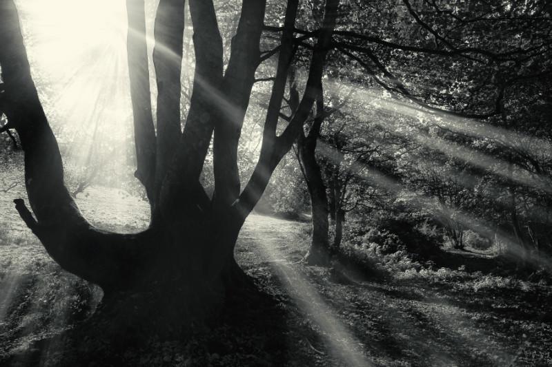 Forest Light. - Black & White