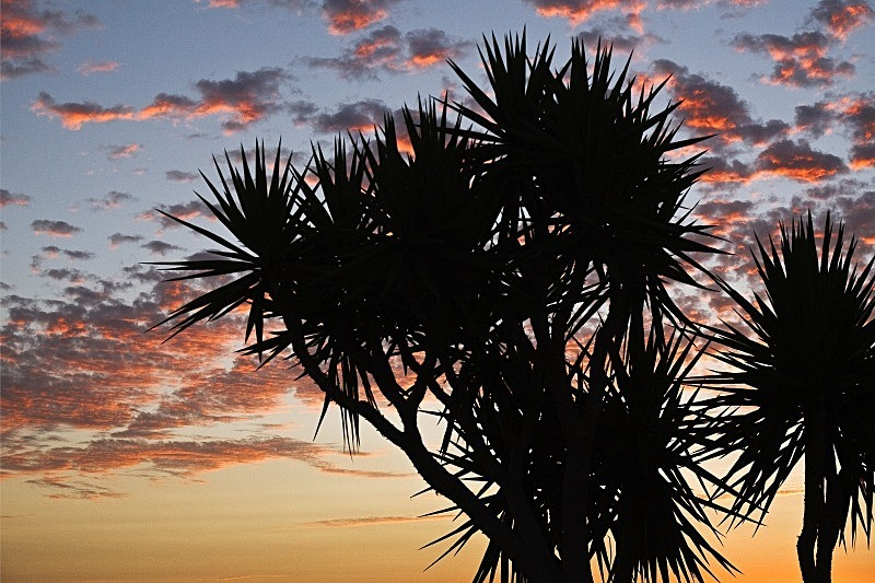 Yuccas in silhouette - Dawn and Dusk