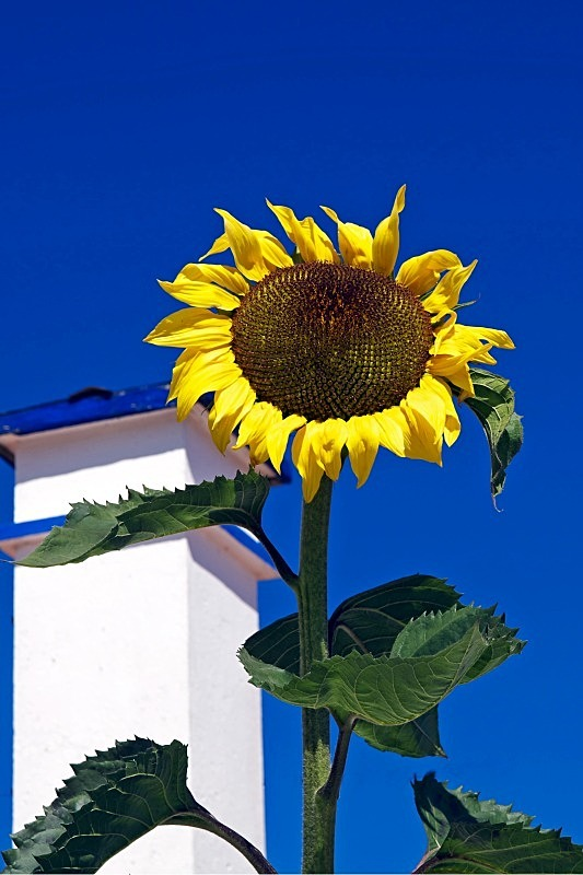 Solitary Sunflower - Countryside