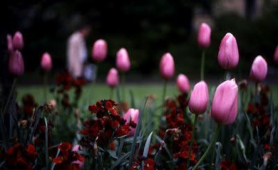 Tulips - Circle D