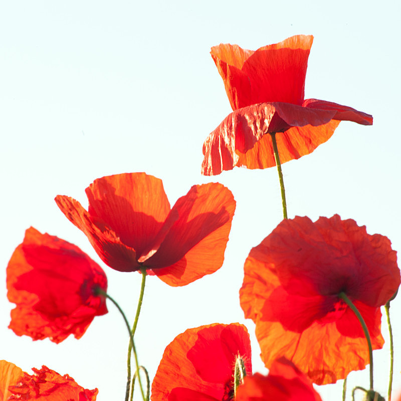 Poppies in the Air! - Elements of The Landscape