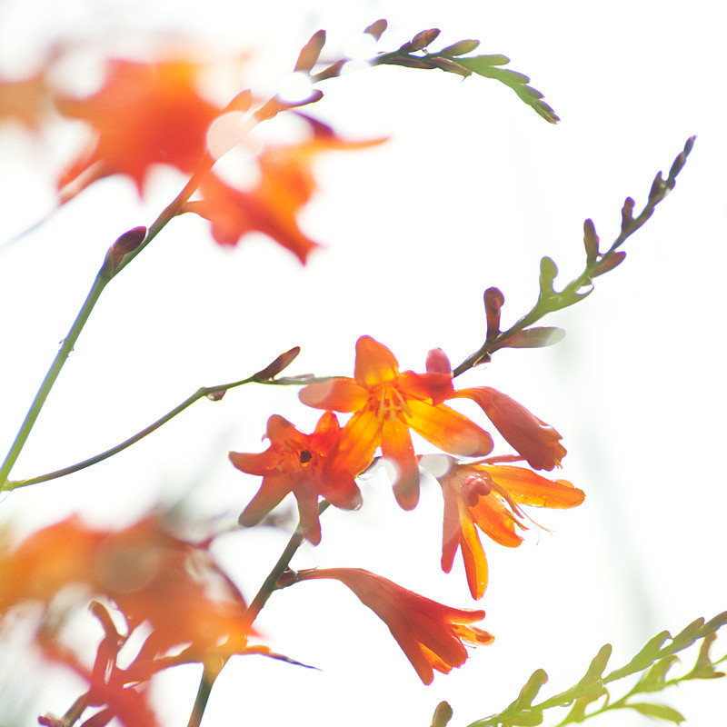Montbretia in the Air! - Elements of The Landscape